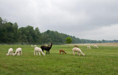 Annalee guarding alpacas